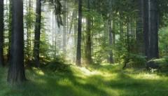 Naturalny las świerkowy